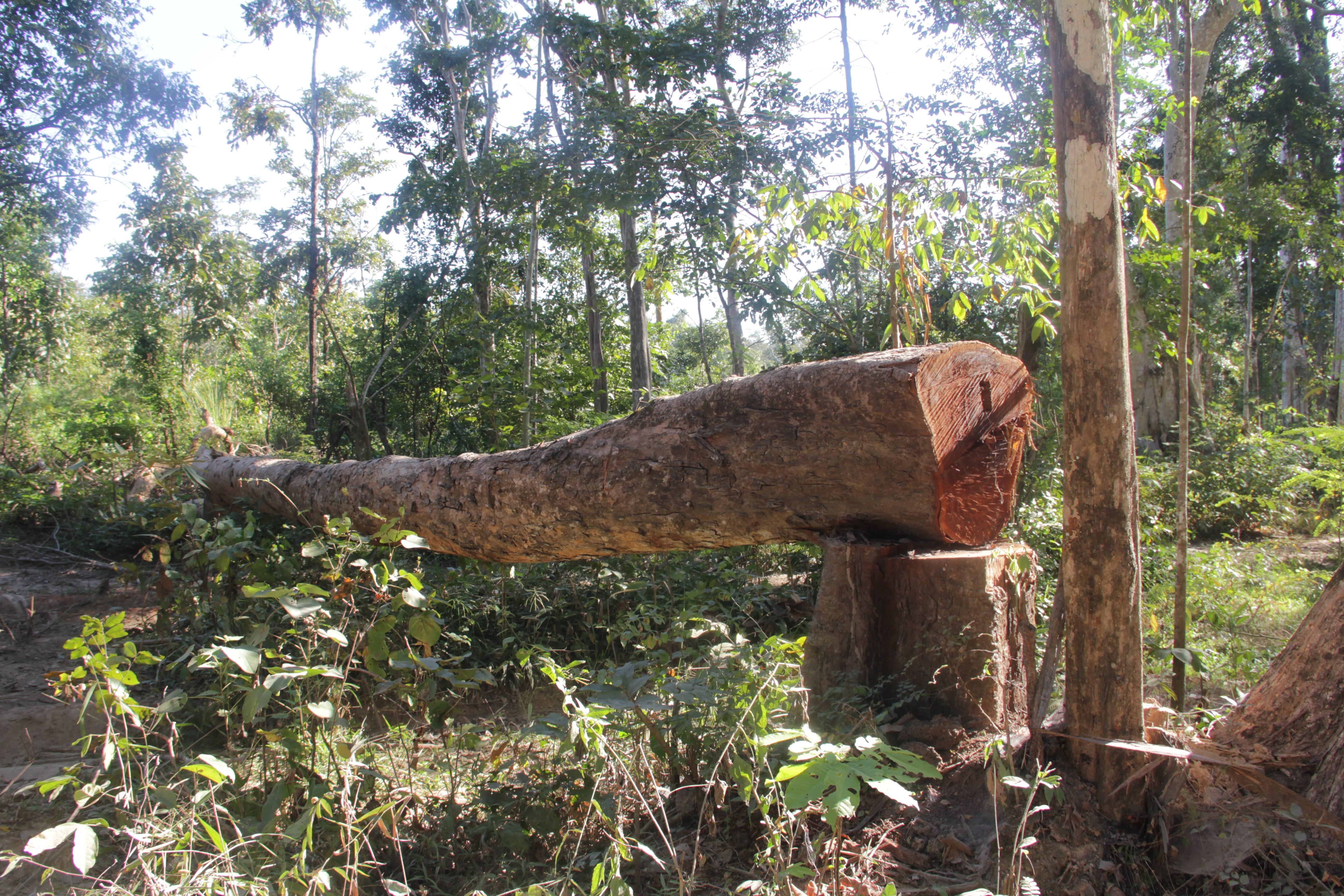 Le bois précieux, de couleur rougeâtre, se fait de plus en plus rare dans la forêt de Veun Sai Siem Pang (© Jérôme Decoster).