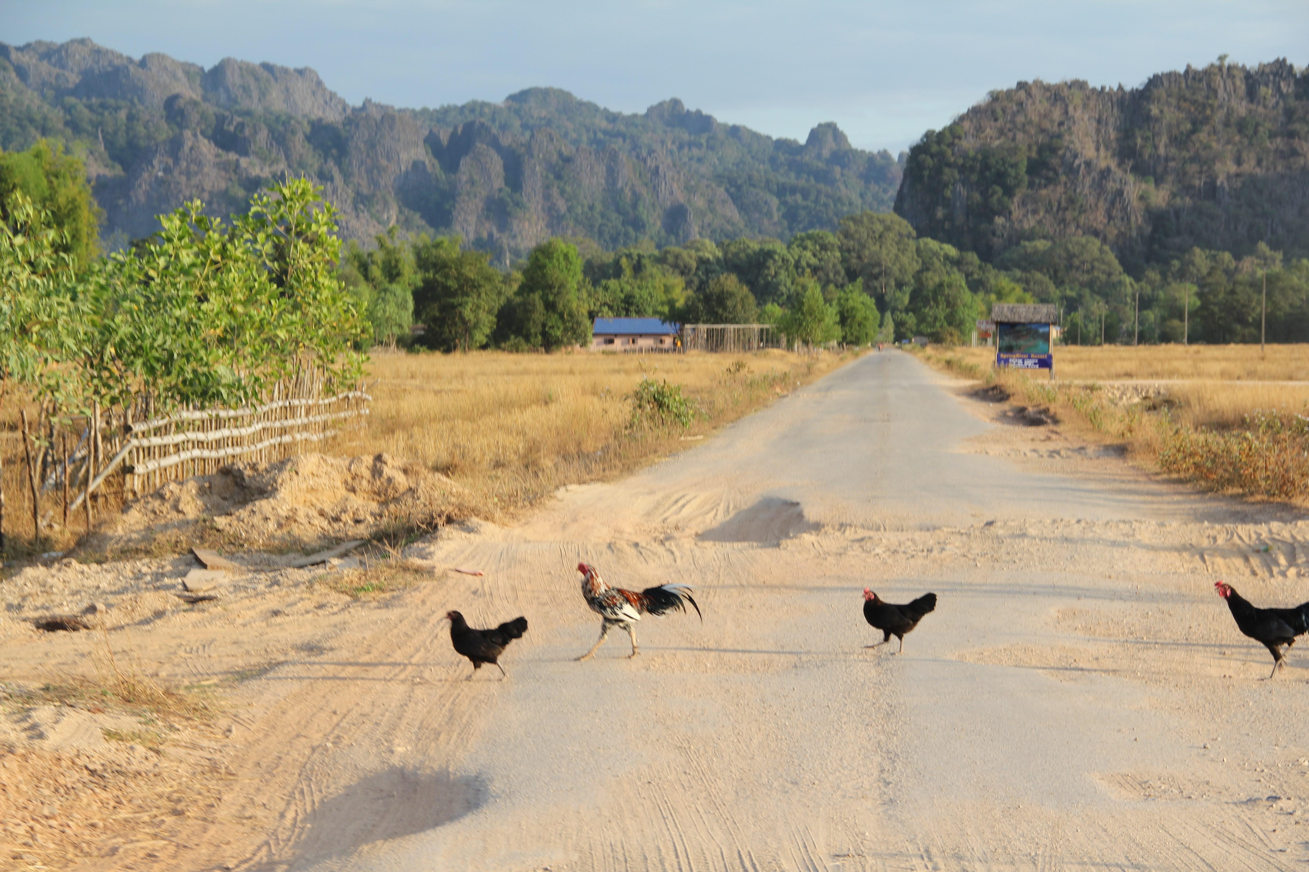 Sur la route, il faut éviter toutes sortes d'animaux : vaches, chèvres… ou poules (© Aurélie Bacheley).