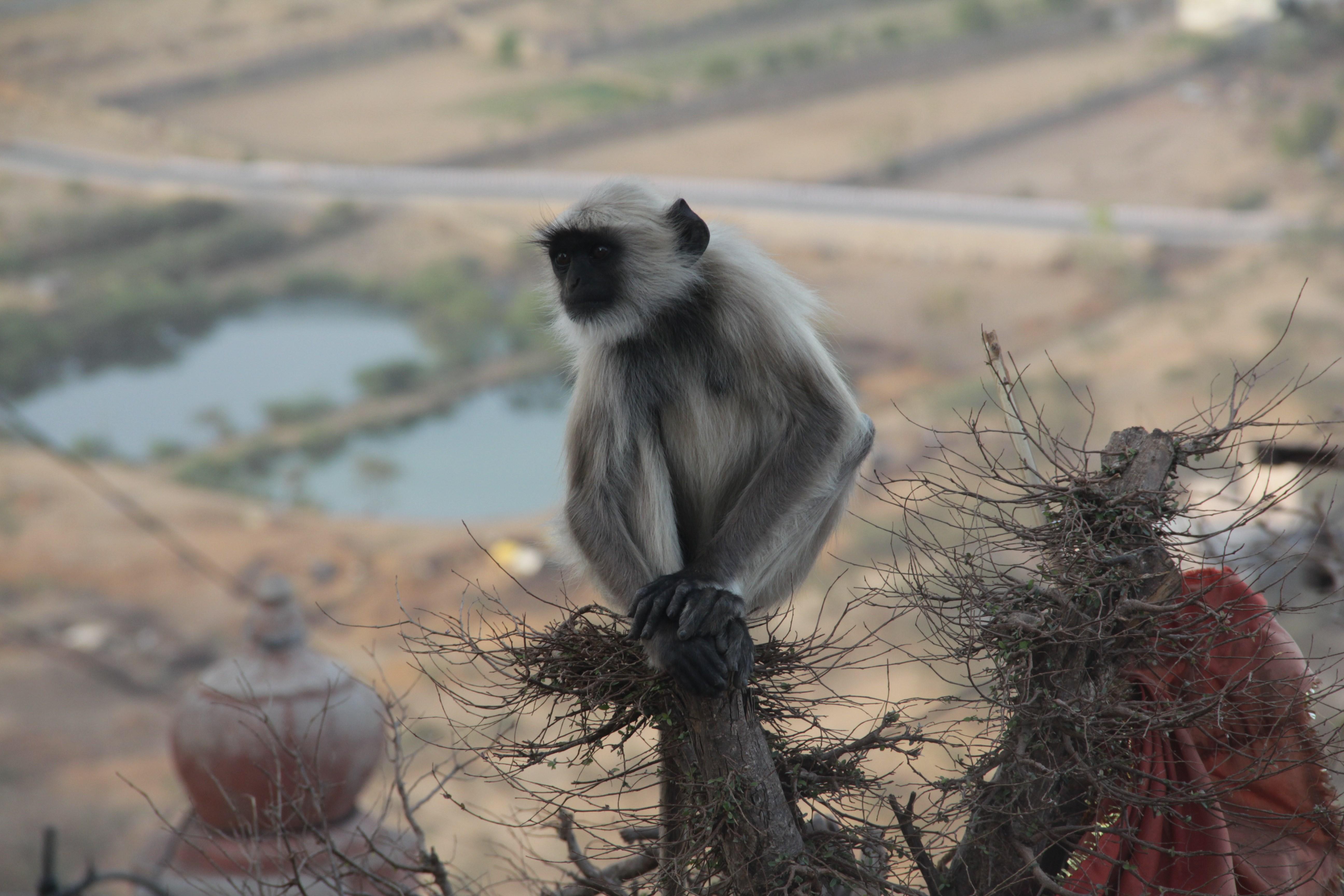 Le singe domine Pushkar, pieds et mains jointes (© Jérôme Decoster)