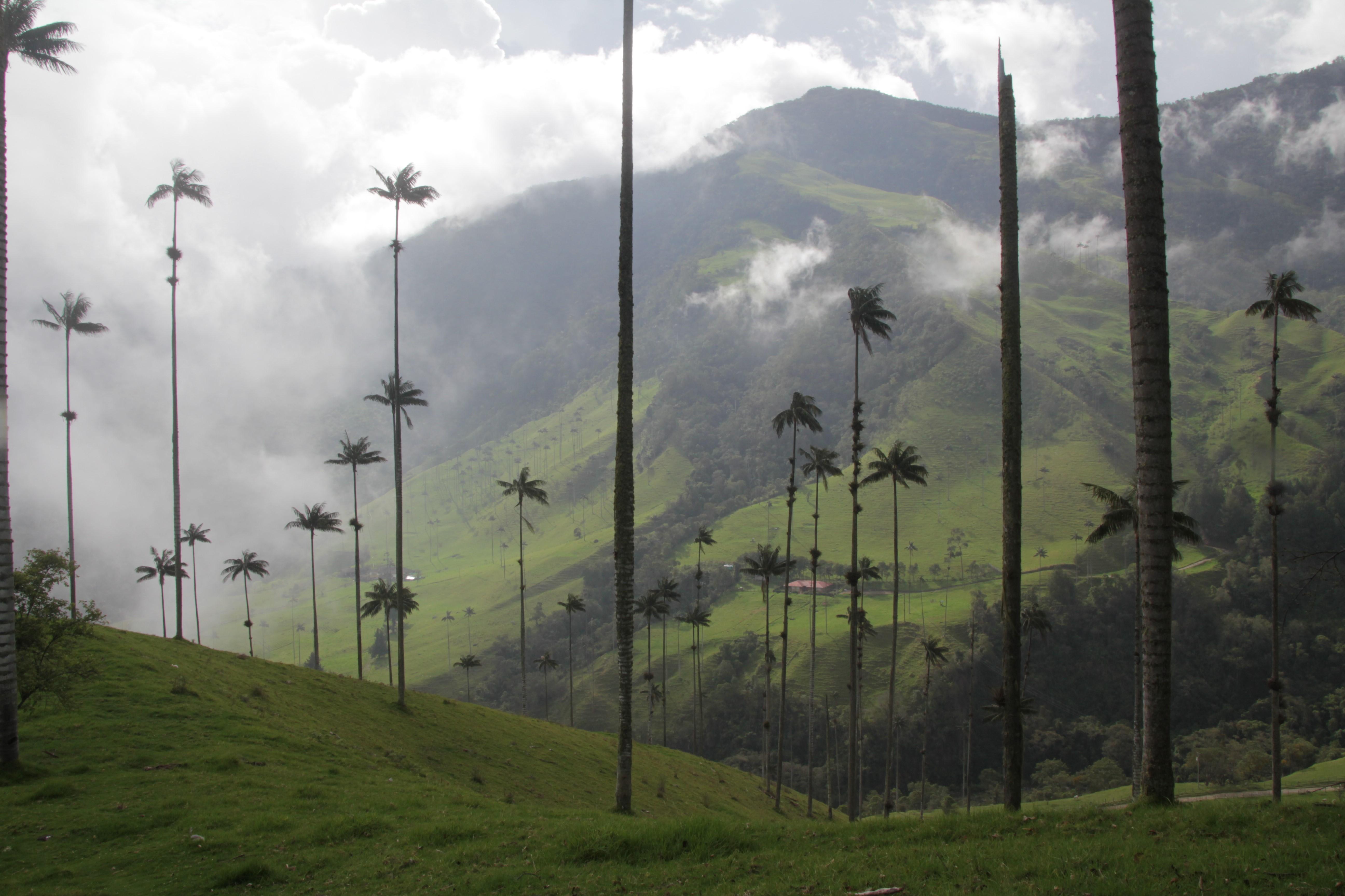 Les géants palmiers de cire s'éparpillent par centaines dans la vallée de Cocora (©Aurélie Bacheley).