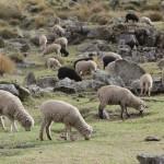Les moutons nous accompagnent sur le deuxième lieu de campement (© Jérôme Decoster).