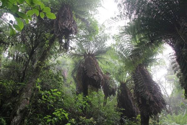 Les fougères géantes, à l'inverse des arbres, récoltent l'eau par le haut pour s'abreuver (© Jérôme Decoster).