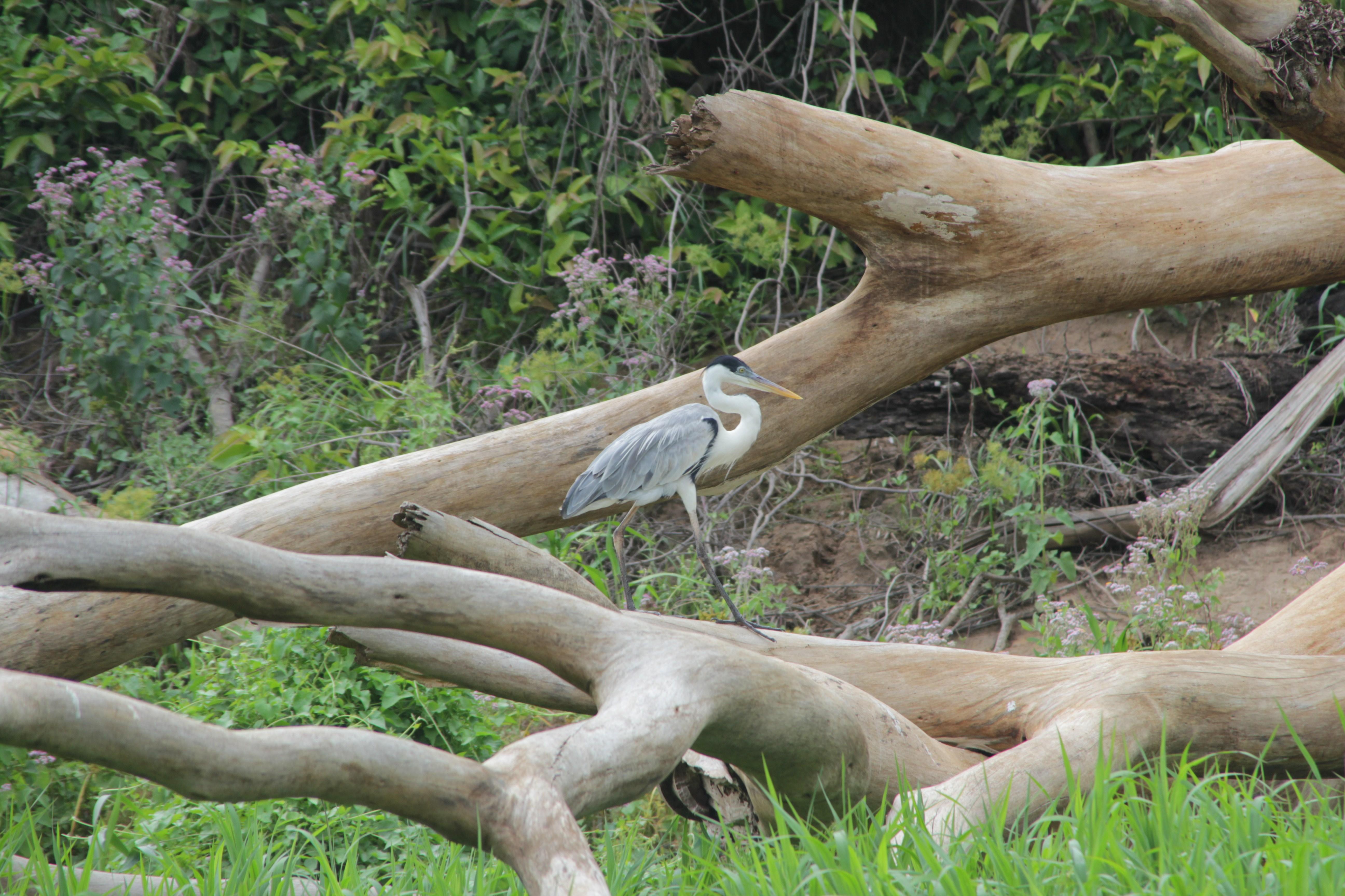 Le héron, une des nombreuses espèces visibles sur les bords de la rivière Ibaré, près de Trinidad, Amazonie (©Aurélie Bacheley).