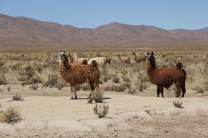 Les lamas de la Quebrada de Humahuaca (© Aurélie Bacheley).